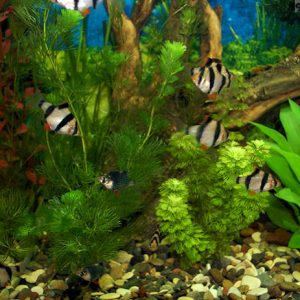 Мой аквариум — барбусятник